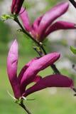 Magenta flower of magnolia Royalty Free Stock Photos