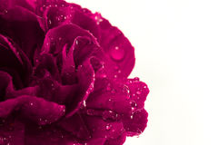 Magenta flower with water droplets. A beautiful single magenta carnation flower isolated on a white background and covered with water droplets. There is plenty stock photos