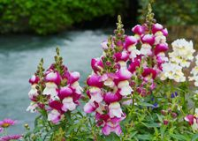 Magenta flowering common snapdragon Stock Photography