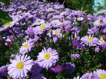 Magenta flowers. Autumn magenta flowers (flower-bad Stock Photo