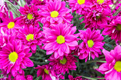 Magenta flowers Stock Photography