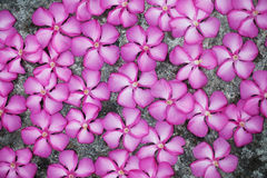 Magenta flowers on floor. Beautiful magenta flowers on grey floor Royalty Free Stock Photos