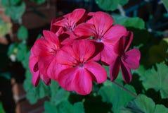 Magenta flowers Royalty Free Stock Image