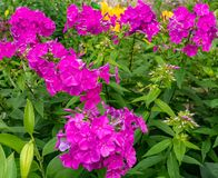 Magenta flowers of Phlox paniculata in garden stock photo