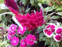 Magenta flowers with green leaves stock image