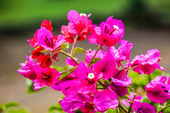 Magenta flowers Royalty Free Stock Photo