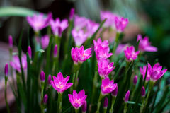 Magenta flowers. Photo of magenta flowers Stock Images