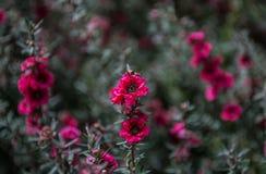 The Magenta Flowers royalty free stock photos