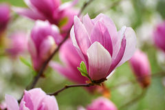 The magenta flowers Stock Photography