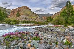 Magenta flowers river stones mountains summer. Bright pink flowers Epilobium among the stones on the river bank against the backdrop of mountains, trees, blue Stock Photos