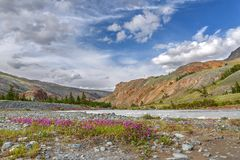 Magenta flowers river stones mountains summer. Bright pink flowers Epilobium among the stones on the river bank against the backdrop of mountains, trees, blue Stock Photo
