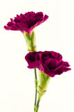 Magenta flowers on white background. Two beautiful magenta carnation flowers isolated on a white background royalty free stock image