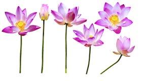 Magenta geïsoleerde lotusbloembloemen Stock Fotografie