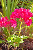 Magenta geranium. Royalty Free Stock Photos