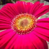 Magenta Gerber Daisy royalty-vrije stock foto's