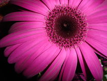 Magenta Gerber Daisy. Close-up of a magenta gerber daisy royalty free stock images
