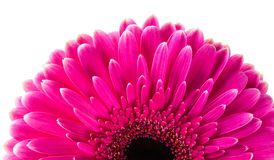 Magenta gerbera Stock Photography