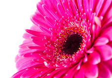 Magenta gerbera Royalty Free Stock Photos