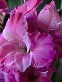 Magenta Gladiolenboeket Royalty-vrije Stock Afbeelding