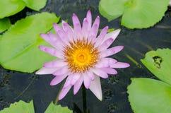 Magenta hermosa waterlily Foto de archivo libre de regalías