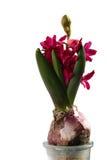 magenta hiacyntowy zdjęcie royalty free
