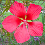 Magenta hibiscus flower Royalty Free Stock Images