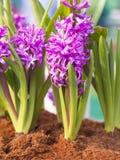 Magenta hyacintbloemen op tuin Royalty-vrije Stock Foto's
