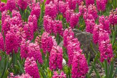 Magenta Hyacinths Stock Images