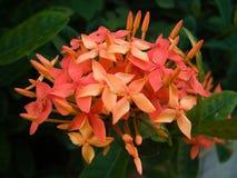 Magenta hydrangea Stock Image