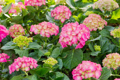 Magenta hydrangea flowers blossom Royalty Free Stock Image