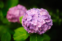 Magenta Hydrangea Hortensia Royalty Free Stock Photography