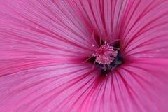 Magenta kwiat Zdjęcia Royalty Free