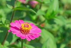 Magenta kwiat z żółtym pollen Obrazy Stock