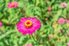 Magenta kwiat z żółtym pollen Obraz Royalty Free