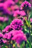 Magenta kwiat z wymarzonym skutkiem Fotografia Royalty Free