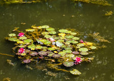 Magenta Lilies on Green Pond Stock Photography