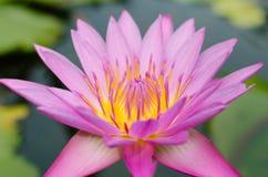 Magenta Lotus Blooming. Magenta lotus is blooming in natural pond Stock Photos