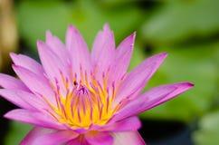 Magenta Lotus Blooming. Magenta lotus is blooming in natural pond Royalty Free Stock Photo
