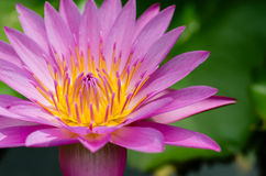 Magenta Lotus Blooming In Sunlight. Lotus blooming in natural sunlight Stock Photos