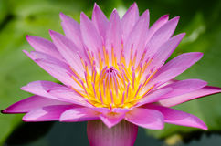 Magenta Lotus Blooming In Sunlight. Lotus blooming in natural pond and in sunlight Royalty Free Stock Photo