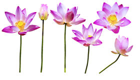Magenta lotus flowers isolated Stock Photography