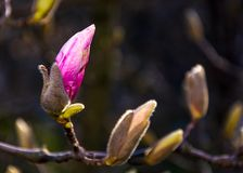 Magenta Magnolia flower opening in springtime. Beautiful intimate nature scenery Stock Image