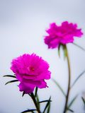 Magenta moss rose Royalty Free Stock Images