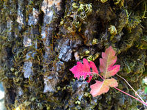 Magenta Oak Leaf Stock Photos