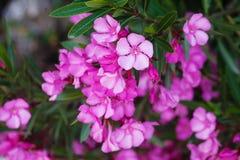Magenta oleander flowers on tree Stock Photography