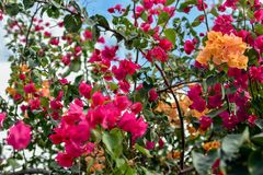Magenta and orange blooming bougainvillea in a blue sky. royalty free stock images