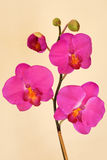 Magenta Orchid Royalty Free Stock Photos