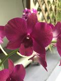Magenta orchid bloom Royalty Free Stock Image