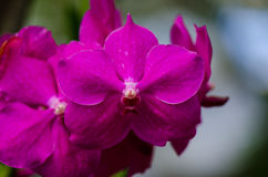 Magenta orchid blossom close up with blured background Royalty Free Stock Photography