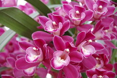 Magenta Orchid Stock Photo
